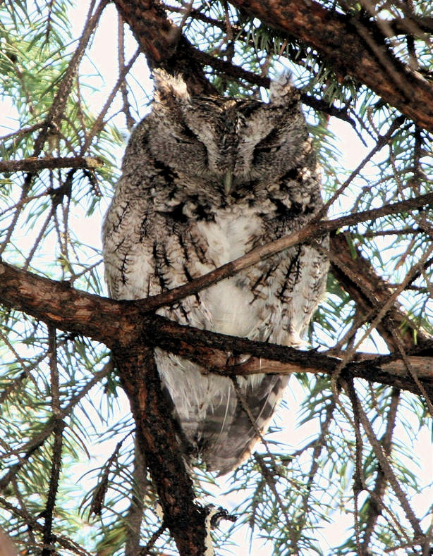 Picture Eastern Screech Owl, Sheldon Marsh State Nature Preserve, 2715 Cleveland Rd W, Huron, OH 44839 by David Lewis
